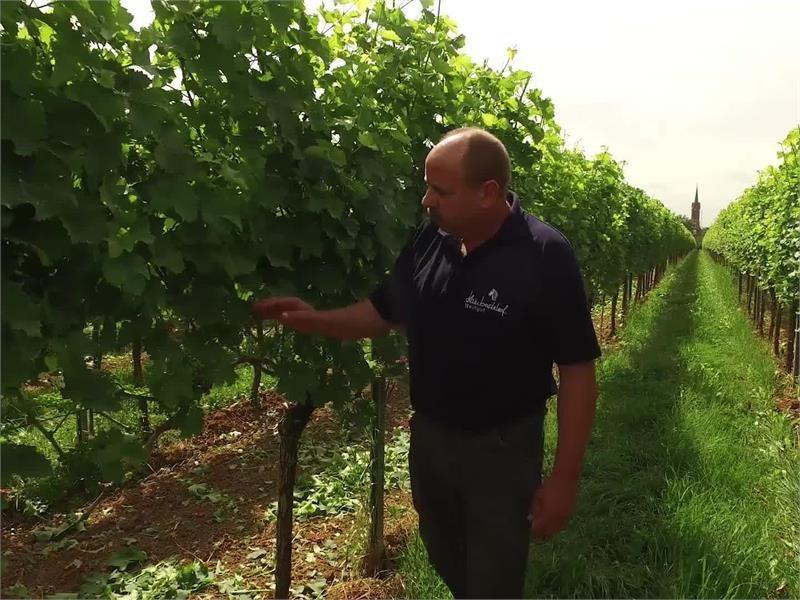 Winzer in Not: Falscher Mehltau bedroht die Wein-Ernte